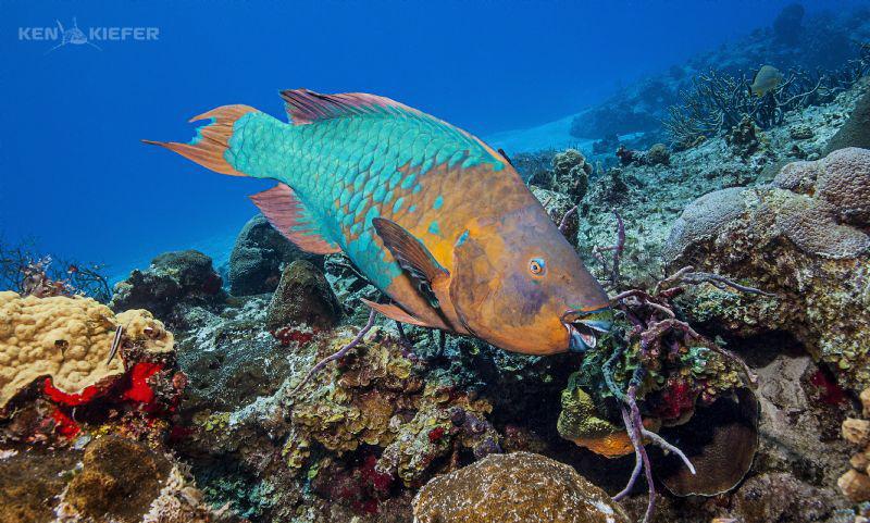 Huge Parrotfish on the reefs of Cozumel Yucab Reef by Ken Kiefer