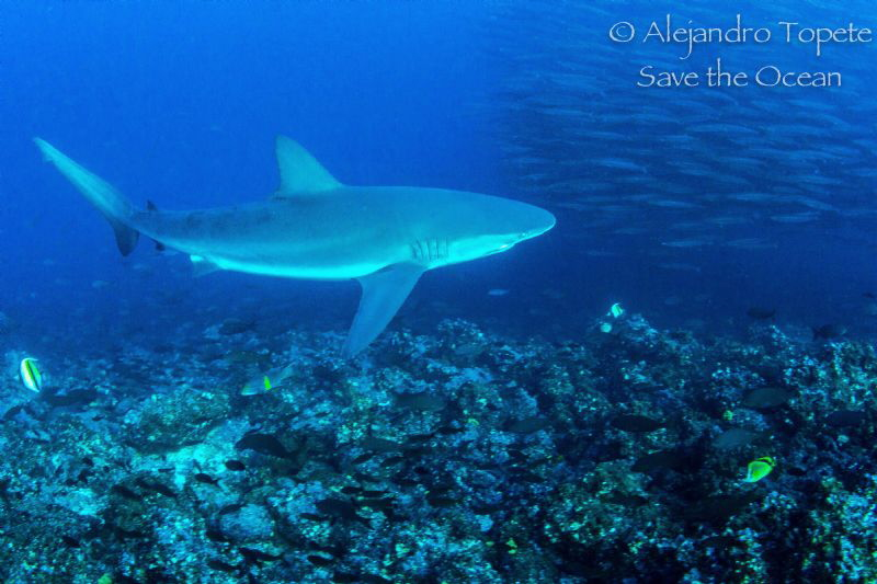 Shark and school of Barracudas by Alejandro Topete