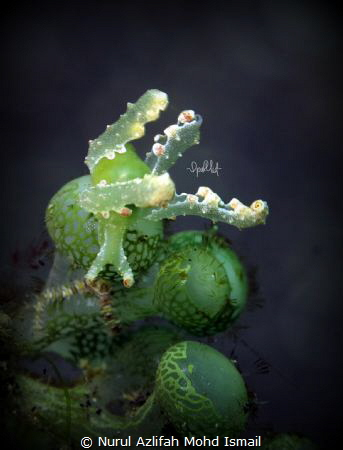 This was taken in Lembeh and it was my first nudi shot ! ... by Nurul Azlifah Mohd Ismail