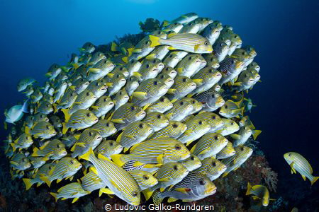 A well tended sweetlips school. Cape Kri - Raja Ampat. by Ludovic Galko-Rundgren