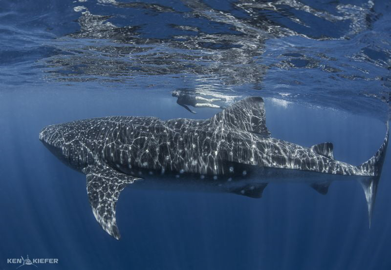 My wife swims next to a Whale Shark in Isla Mujeres.  Thi... by Ken Kiefer