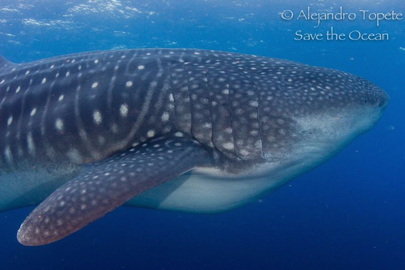 Whale Shark  in Darwing by Alejandro Topete