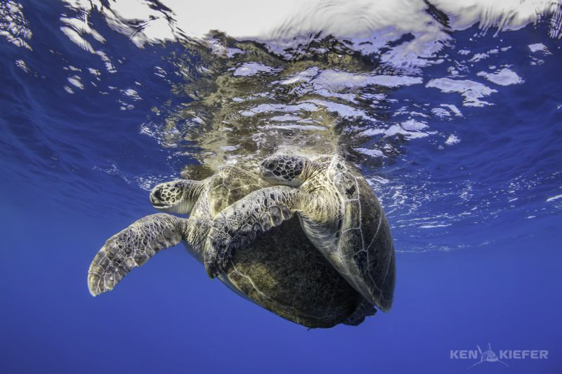 Green Sea Turtles Mating en route to search for whale sh... by Ken Kiefer