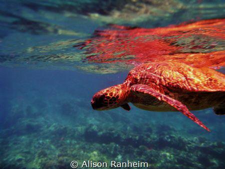 Honolua Bay, Maui by Alison Ranheim