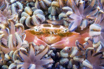 Mimetic crab , Nikon D00, 105 macro, two strobo by Marchione Giacomo