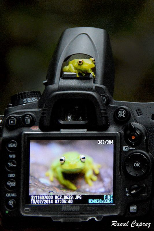 BEFORE and AFTER the shot This tiny green frog swam to t... by Raoul Caprez