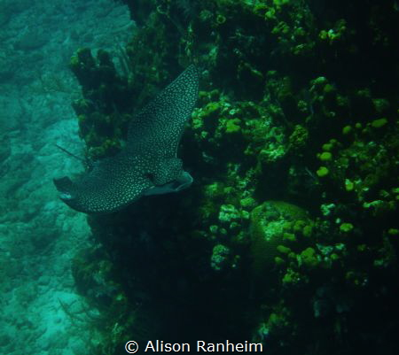 Enormous Spotted Eagle Ray! by Alison Ranheim