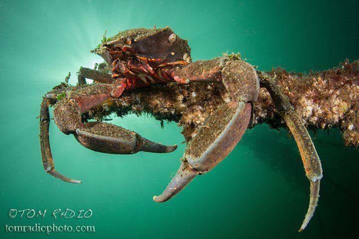 Kelp Crab Puget Sound, WA, U.S.A. by Tom Radio