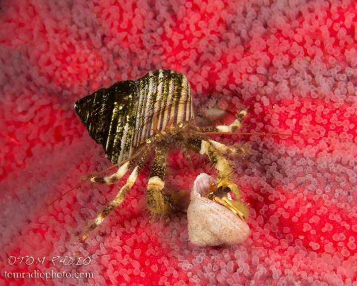 Hermit crabs on a striped sun star
