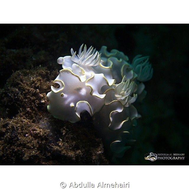 Nudibranch by Abdulla Almehairi