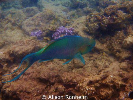 Parrotfish, Ahihi Cove, Maui by Alison Ranheim