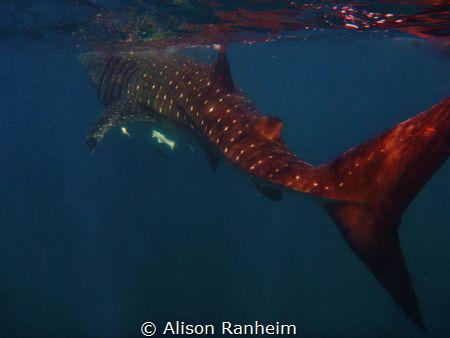 Near Isla Contoy, Yucatan Peninsula.  This Whale Shark wa... by Alison Ranheim