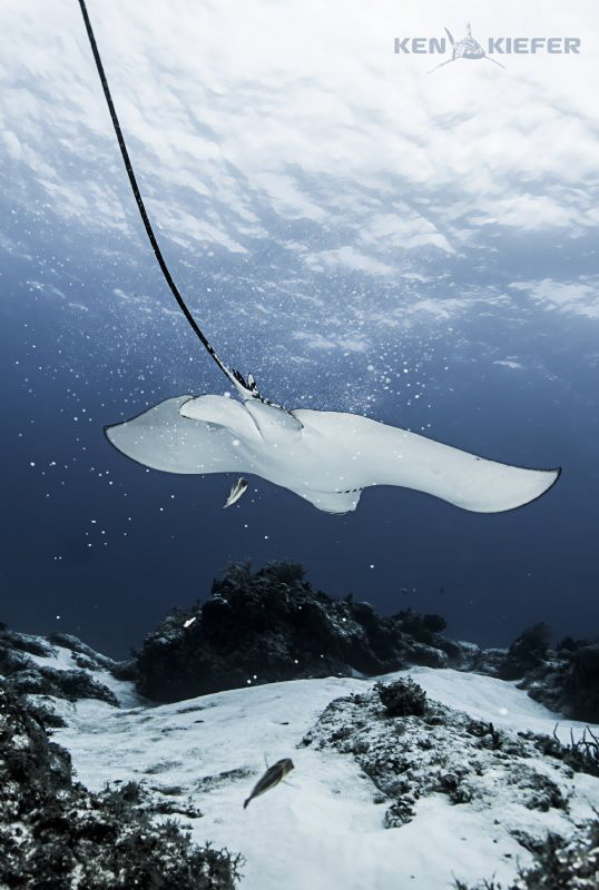 Eagle Ray dropping sand after sifting for food.  Looks al... by Ken Kiefer