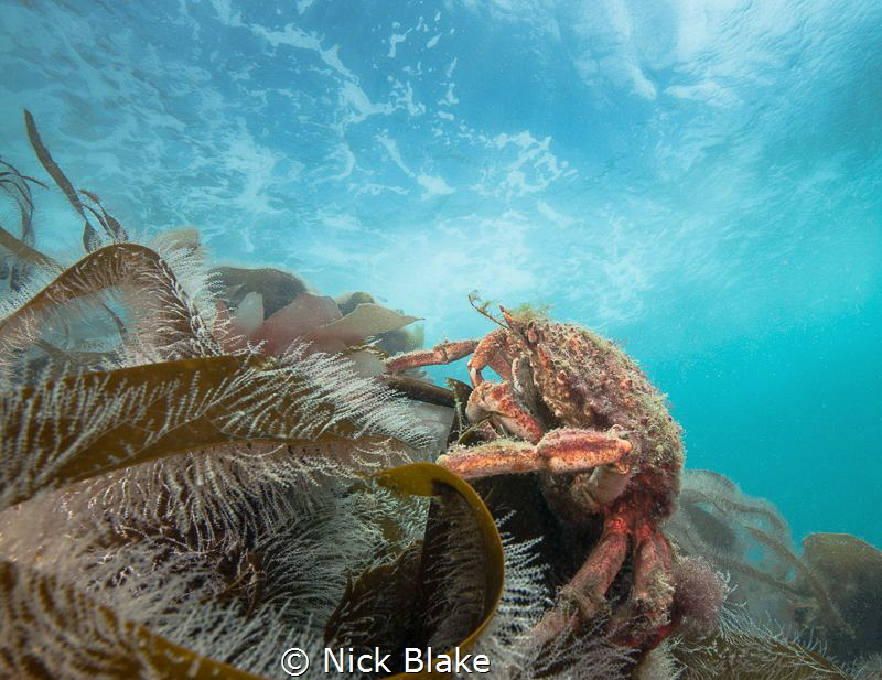 A spider crab rests on kelp on the Knoll Pins, Lundy Island by Nick Blake