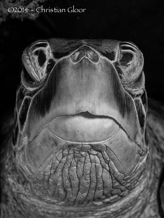 Closeup of a massive green turtle in Bunaken. Permanent r... by Christian Gloor