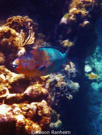 Parrotfish, Roatan Island. by Alison Ranheim