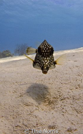 Spotted Trunkfish by Tina Norris