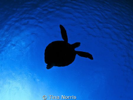 Three legged turtle by Tina Norris