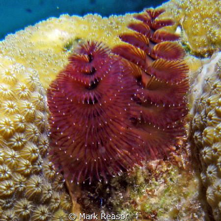 Christmas tree worms on star coral by Mark Reasor