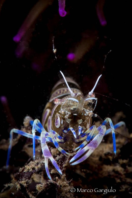 Ghost Mediterranean Shrimp by Marco Gargiulo