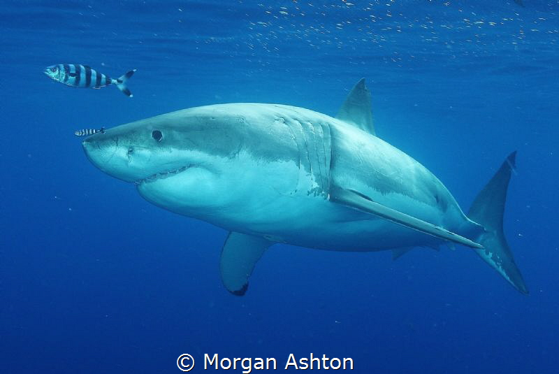 Great White Shark and Friends.Sony RX-100. by Morgan Ashton