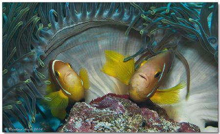 - parental care - Maldive anemonefishes (Amphiprion nigr... by Reinhard Arndt