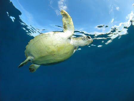 Green Turtle on the Perfect day by Jenny Strömvoll