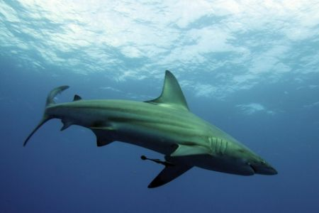 BlackTip Shark, Pinnacles, Ponta Mamoli, taken with Canon... by Roger Horrocks