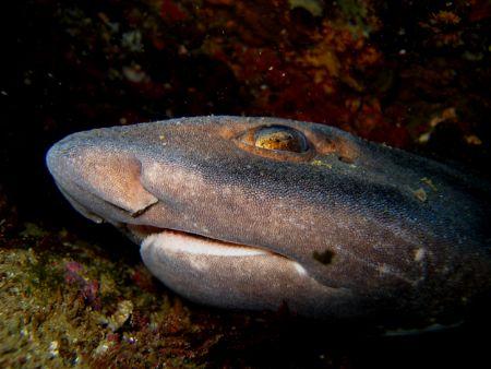 Carpet Shark Alderman Islands New Zealand by Jayne Dennis