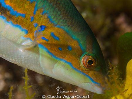 sea peacock - macro by Claudia Weber-Gebert