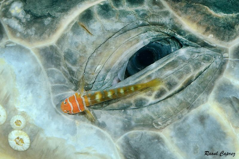 Eye decoration (old Green turtle eye - Chelonia mydas) by Raoul Caprez