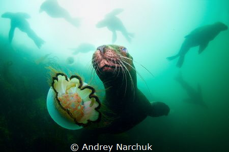 Horde of steller sea lion plays with me and jellyfish.