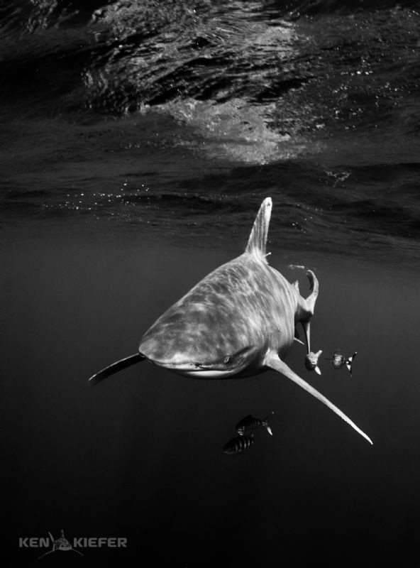 Oceanic Whitetip with pilotfish Canon 5D3 w 8-15mm fishe... by Ken Kiefer