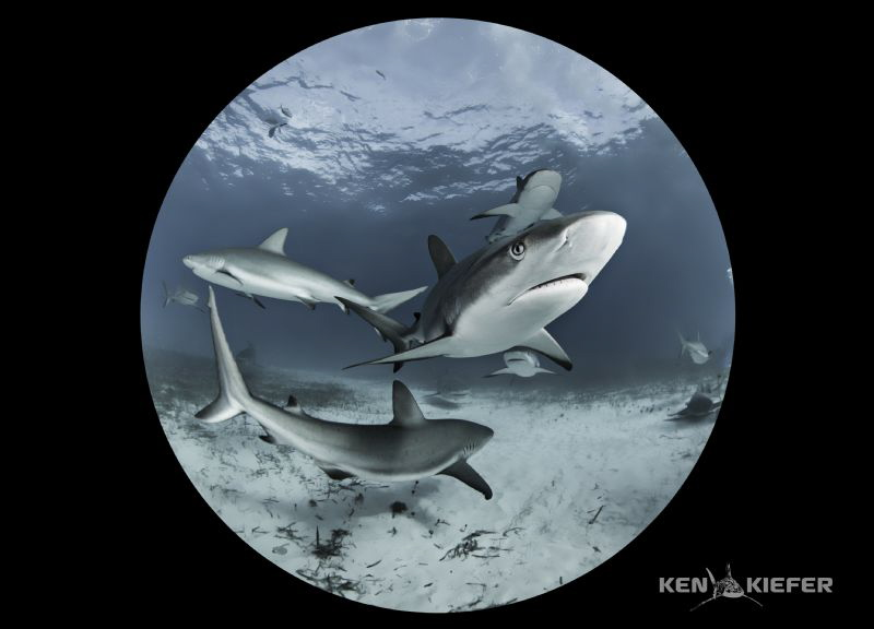Reef Sharks in my circle!   Using a full frame camera and... by Ken Kiefer