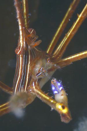 Spyder Crab details. by Francisco Nakahara