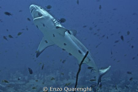 Grey Reef Shark in Cleaning Station... by Enzo Quarenghi