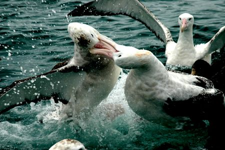 Giant Albatros Fighting by Jayne Dennis