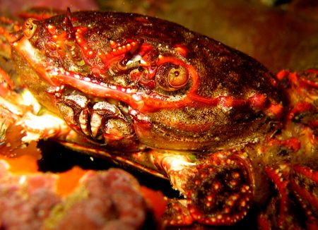 Crab