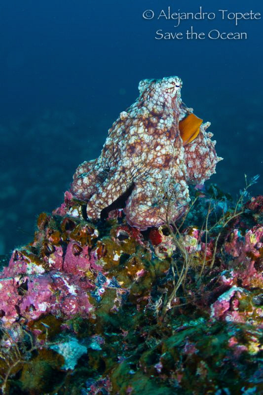 Octopus in the Reef by Alejandro Topete