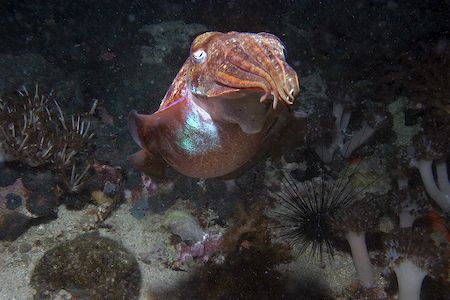 Cuttlefish taken in Phillipines. Taken with Canon EOS 10D... by Simon Trickett