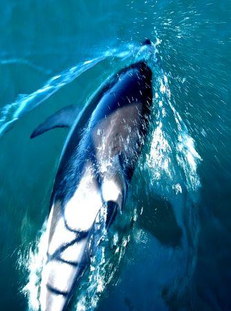 Common Dolphin, Kaikoura, New Zealand by Jayne Dennis