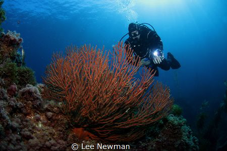 Diver and gorgonian at Catalina Island. Canon 7D, Aquatic... by Lee Newman