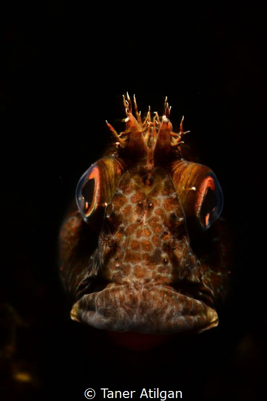 Snooted blenny from Neandros Island/Istanbul. No p.s. by Taner Atilgan
