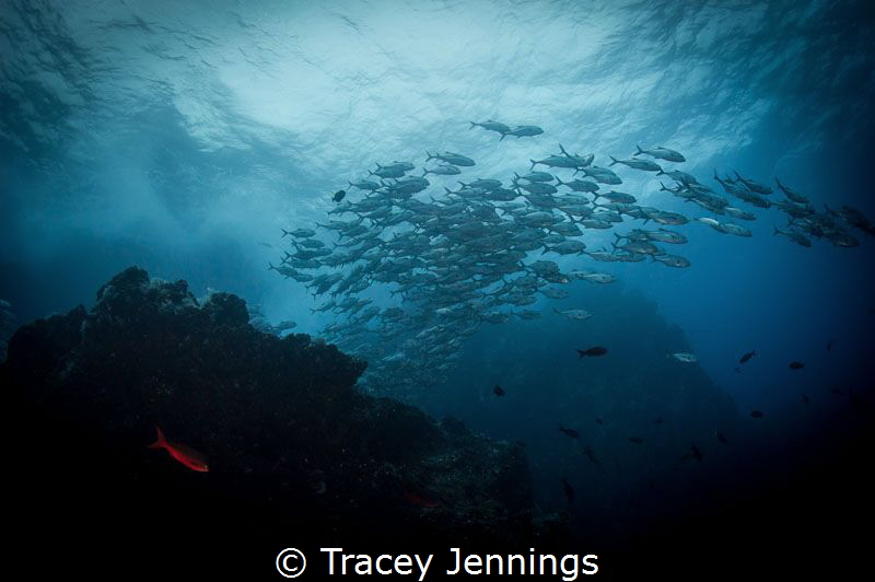 Red Fish .. Blue Fish. A waterfall of jacks .. at Dirty R... by Tracey Jennings