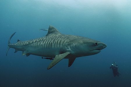 Female Tiger Shark,natural light, what an awesome animal! by Roger Horrocks