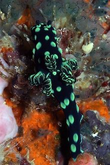 Nudibranch. EOS 10D in SEA&SEA housing. 100mm lens by Simon Trickett