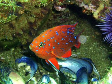 Juvenile Orange Garibaldi - the California state fish. by Dallas Poore