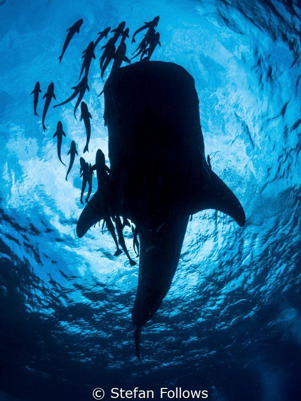 Ample ... ! Whale Shark - Rhincodon typus. Sail Rock, Tha... by Stefan Follows