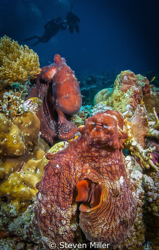 Double Day Octopi. These two stayed put for well over an ... by Steven Miller