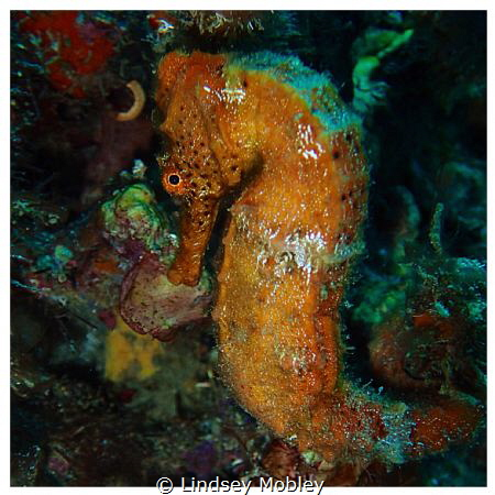 Beautiful orange seahorse by Lindsey Mobley